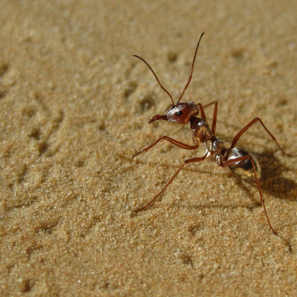 Descubren en el Sáhara a las hormigas más rápidas del mundo