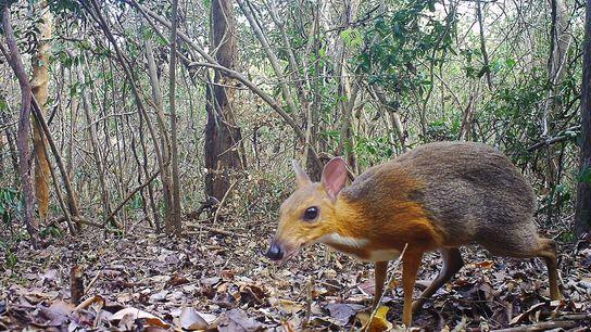 Ciervo ratón de Vietnam
