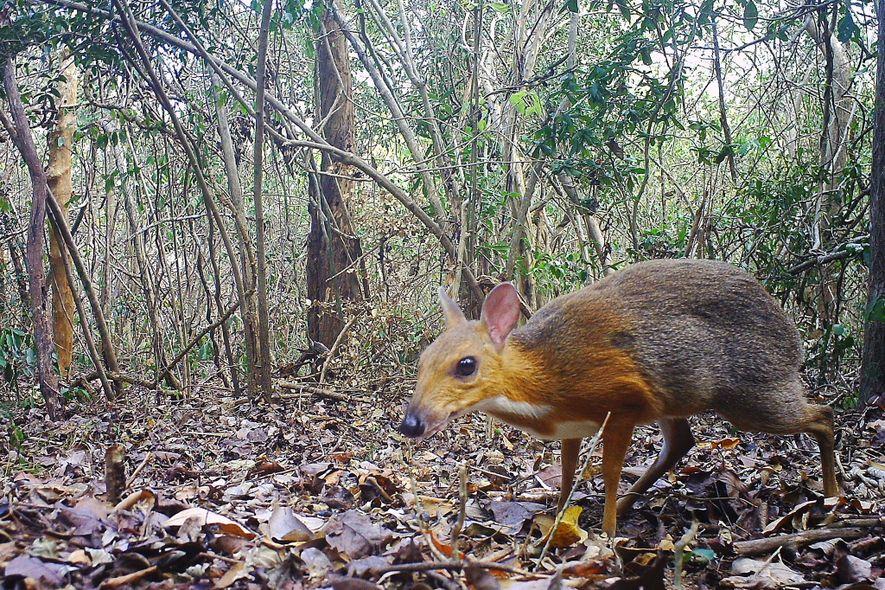 Identifican al ciervo ratón de Vietnam, observado por última vez hace 30 años