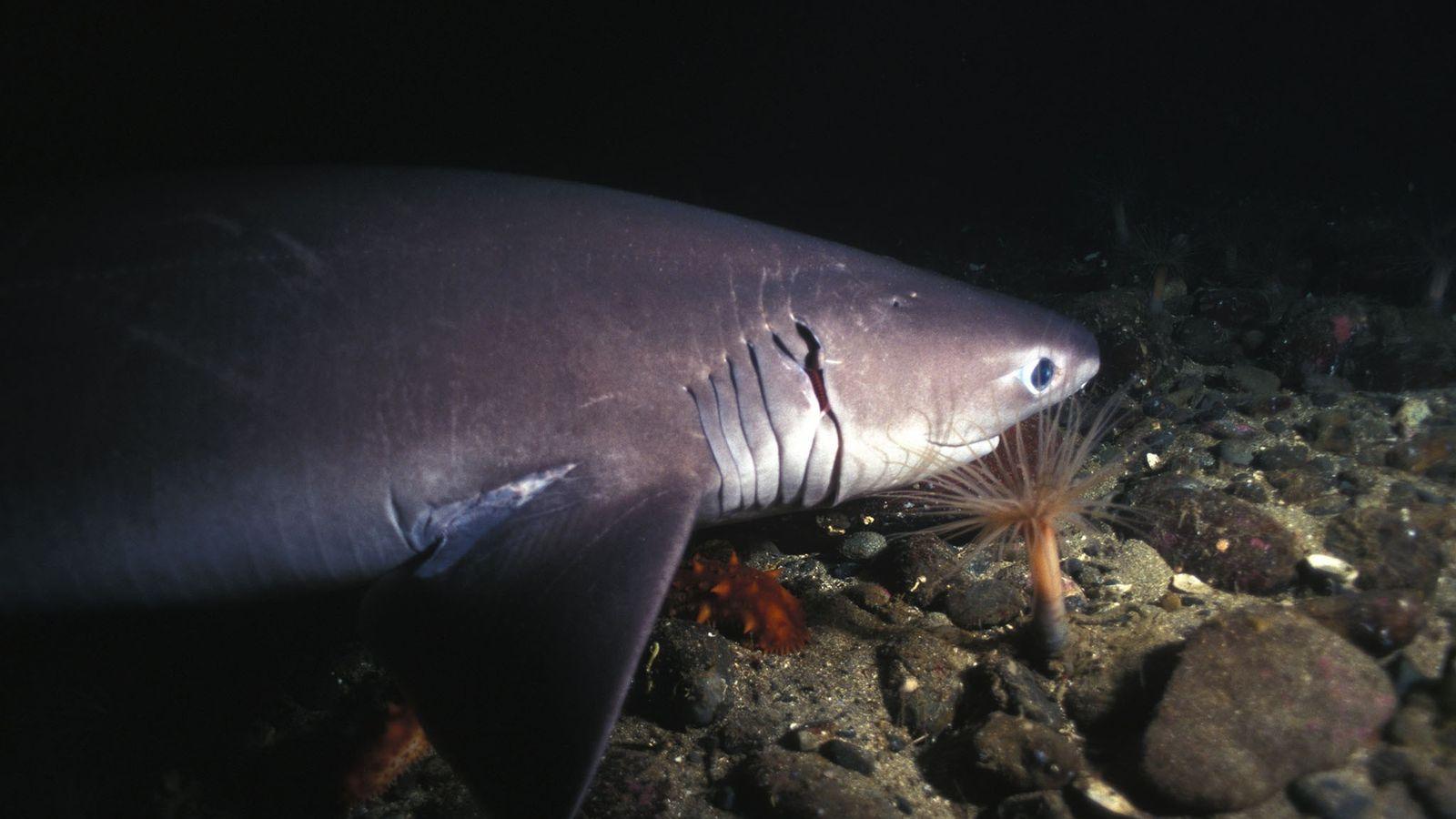 Tiburón de seis branquias
