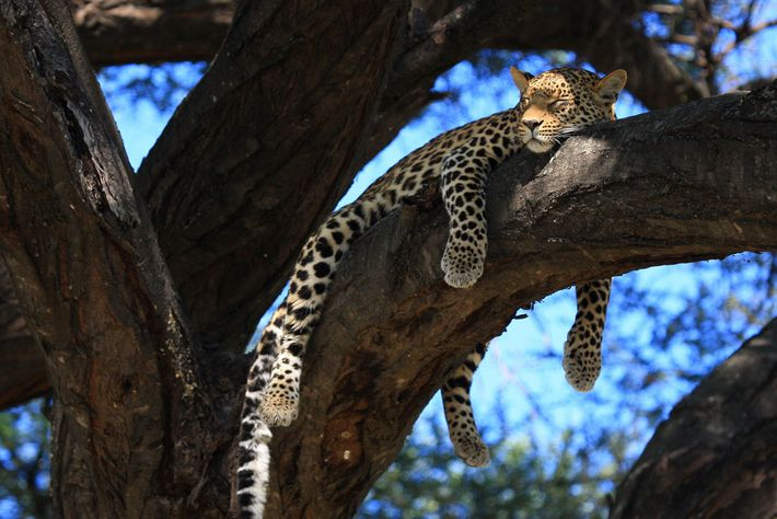 Un leopardo hembra