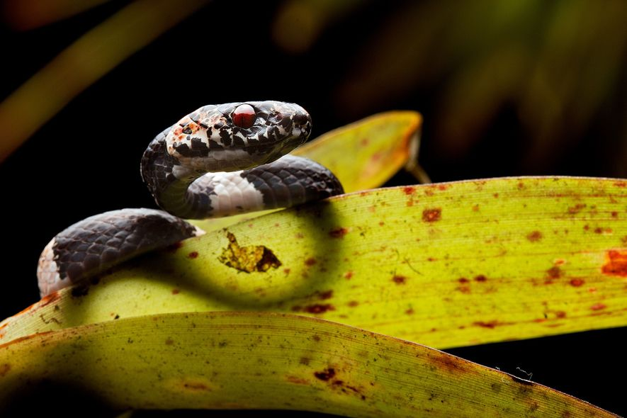 La nueva especie Dipsas bobridgelyi fue bautizada con el nombre de un ornitólogo y conservacionista estadounidense.