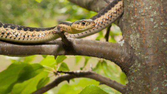 Serpiente de jarretera oriental