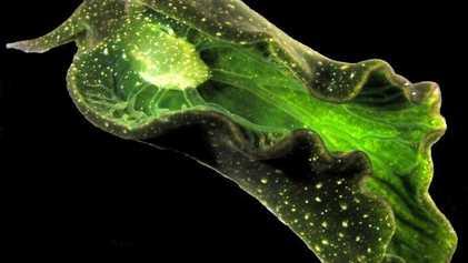 Los secretos de las babosas que «roban» cloroplastos a las algas