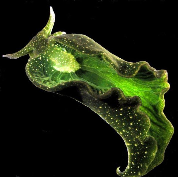 Elysia cholorotica