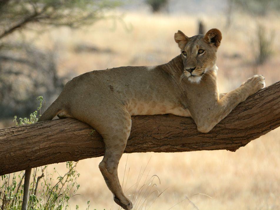 Este es el único lugar de la Tierra donde los leones viven solos