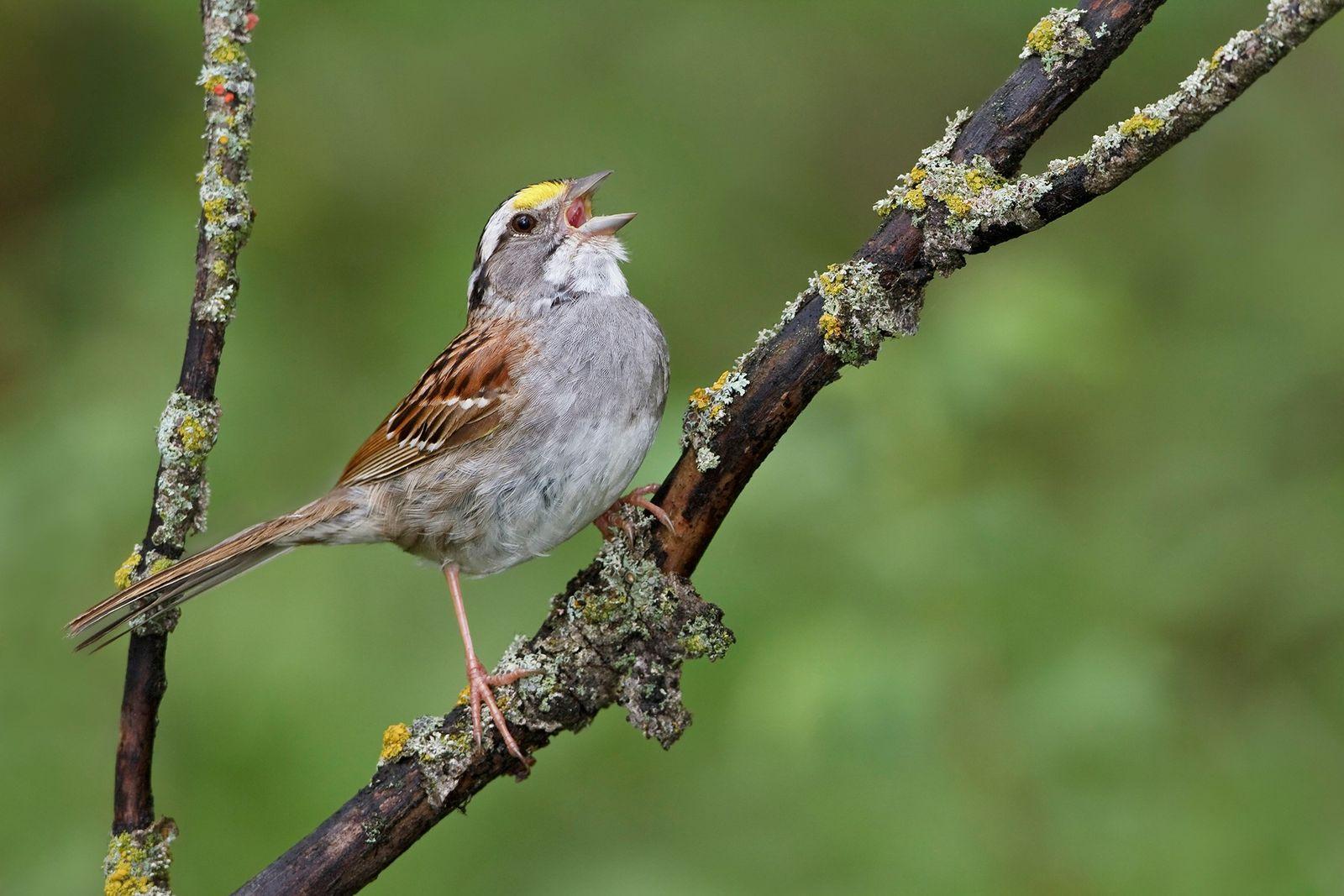 Estas aves han adoptado un canto nuevo, un cambio rápido y sin precedentes