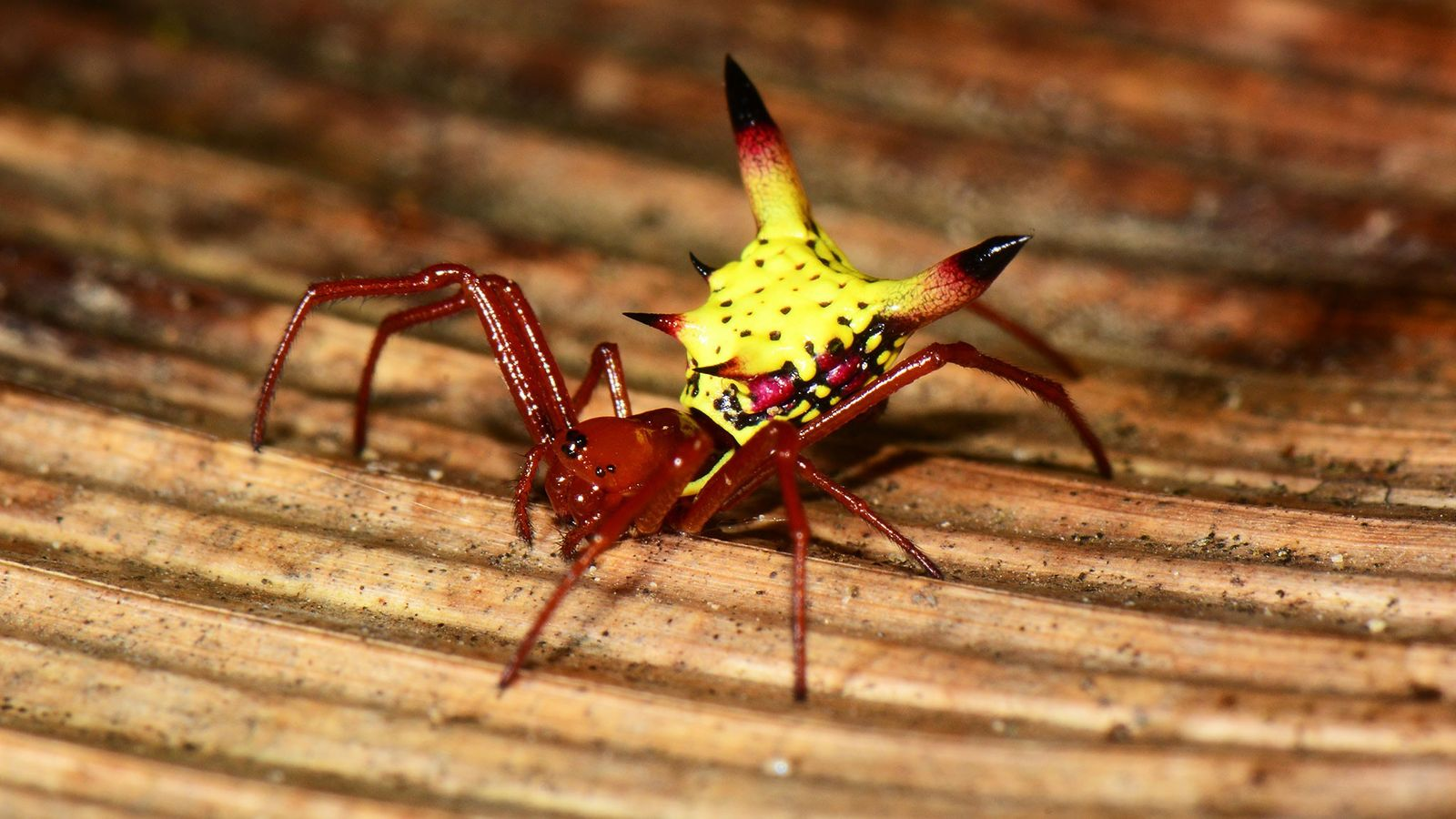 Araña Pokemon