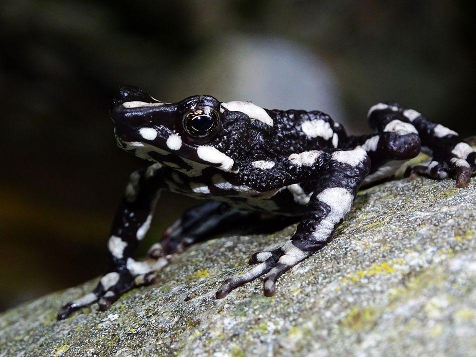 Reaparece una especie de rana arlequín considerada extinta durante 30 años