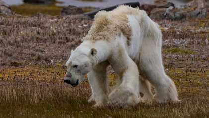 Devastadoras imágenes de un oso polar hambriento
