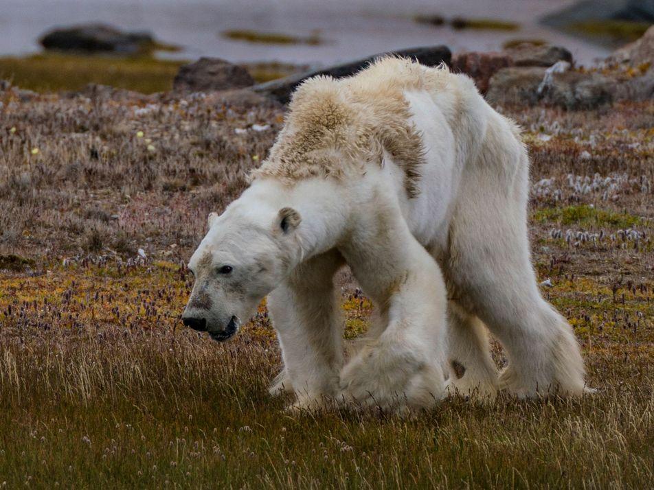 Respondemos a las preguntas clave acerca del vídeo del oso polar desnutrido