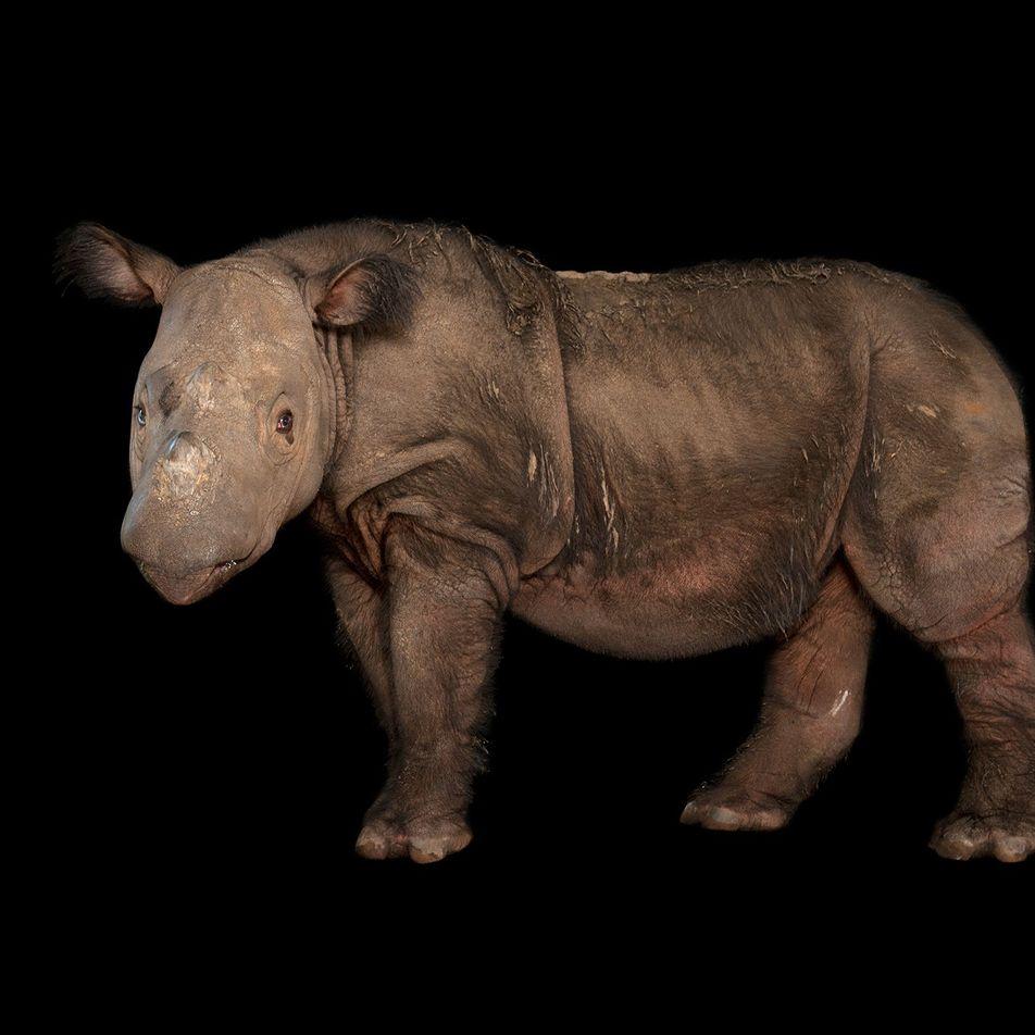 Muere el último rinoceronte de Sumatra que quedaba en Malasia