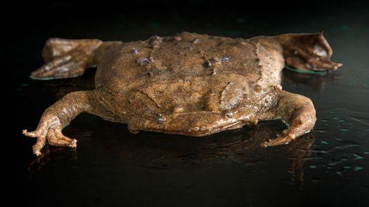 El sapo que lleva los huevos fertilizados bajo la piel y otras rarezas reproductivas del reino ...
