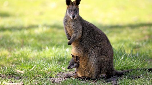 Este marsupial es el único animal que siempre está embarazado