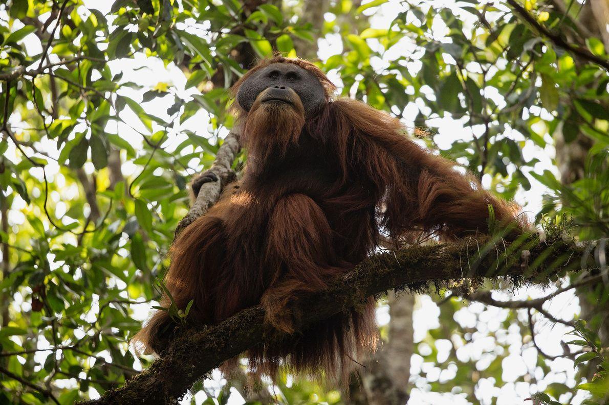 Un macho adulto de orangután de Tapanuli en la selva de Batang Toru.