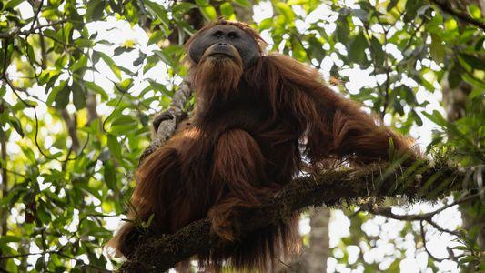 Descubierta una nueva especie de orangután en Sumatra: el orangután de Tapanuli