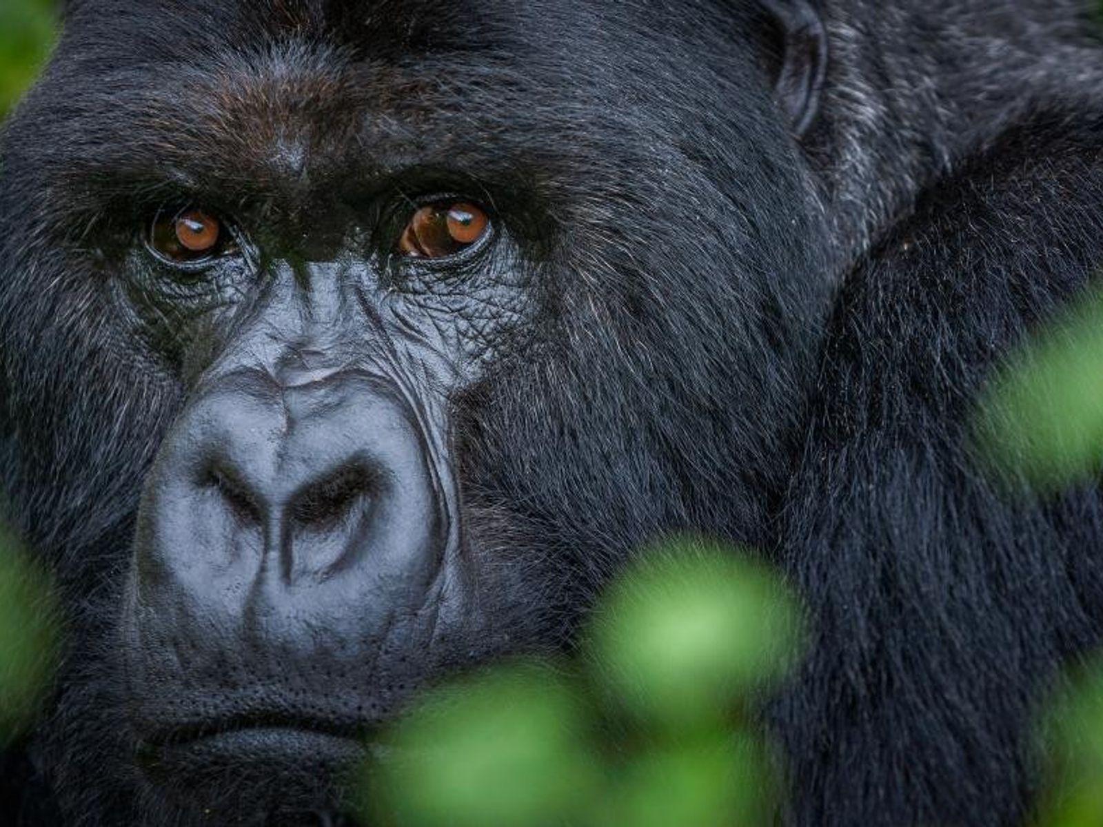 Foto de un gorila de montaña, Ingo Arndt  Tras tres horas recorriendo la densa selva en las ...