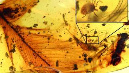 Descubiertas en ámbar garrapatas que se alimentaban de dinosaurios y aves primitivas