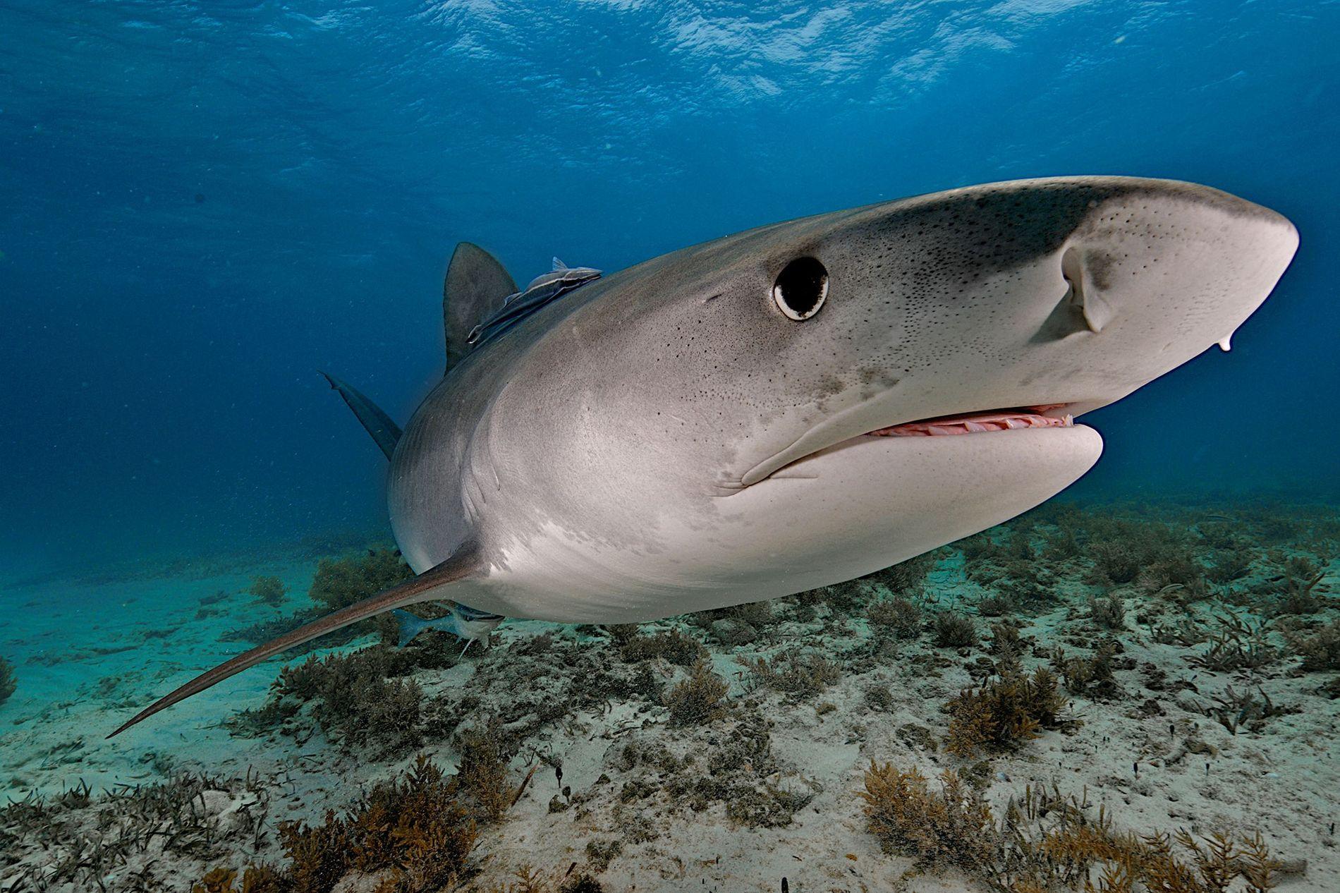 Un tiburón tigre