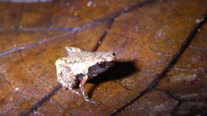Esta nueva especie de rana del tamaño de una grapa es la más pequeña descubierta hasta ...