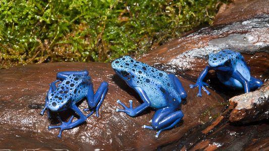Las ranas de dardo han evolucionado para ser inmunes a su propio veneno