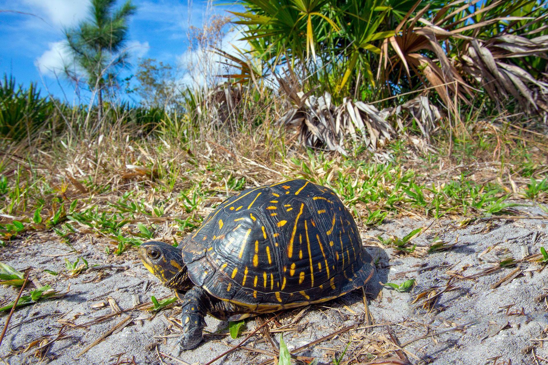 Los furtivos han capturado tortugas de caja de Florida como esta para los mercados asiáticos.