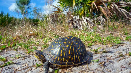 Estas tortugas son capturadas en aguas estadounidenses y traficadas a Asia