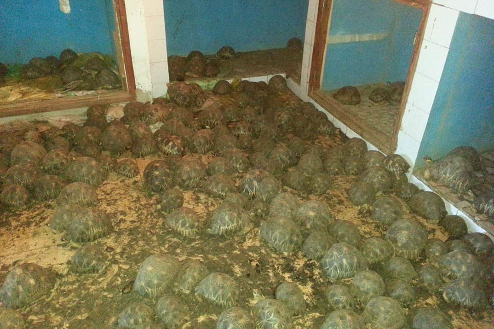 10.000 tortugas radiadas