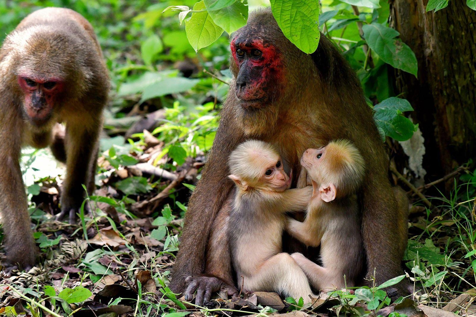 Madre macaco con gemelos