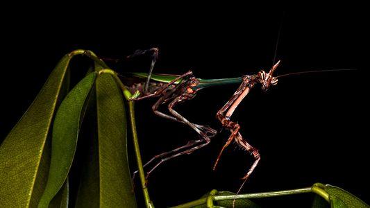 Descubren una nueva especie de mantis «unicornio» en la selva brasileña