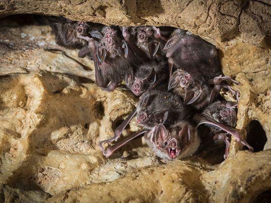 Las amistades entre murciélagos vampiros son muy parecidas a las humanas