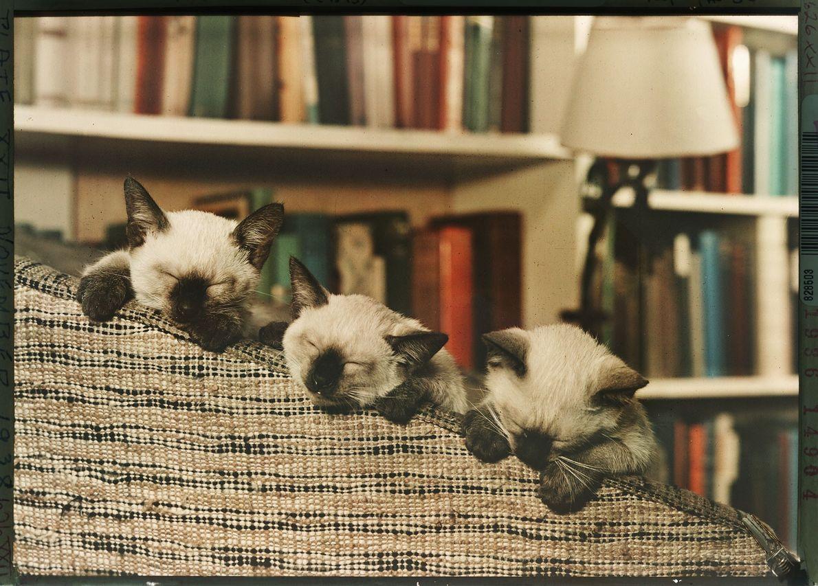 Un trío de gatitos siameses