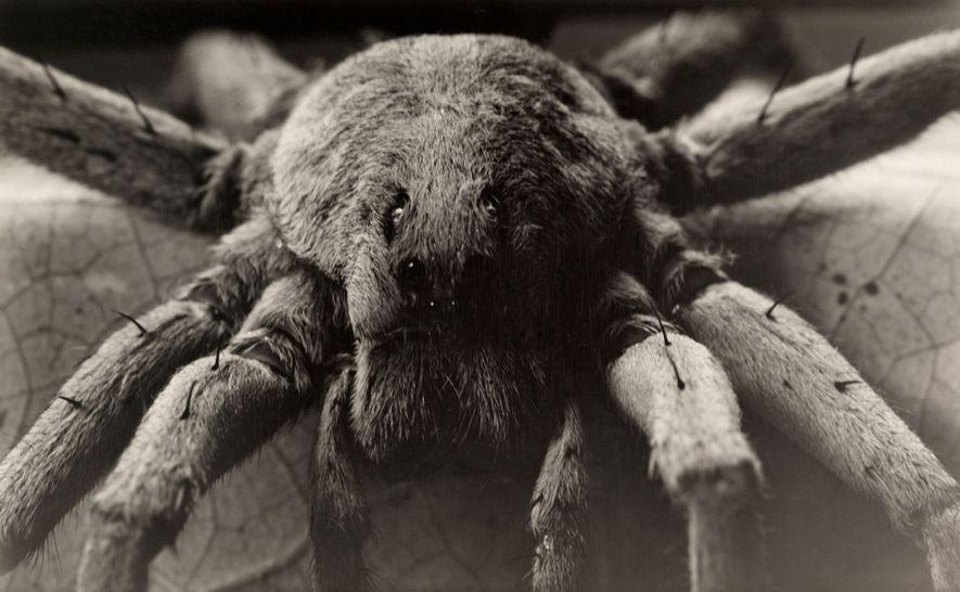 Las arañas lobo de Carolina, unas de las más grandes entre las arañas lobo, salen por ...