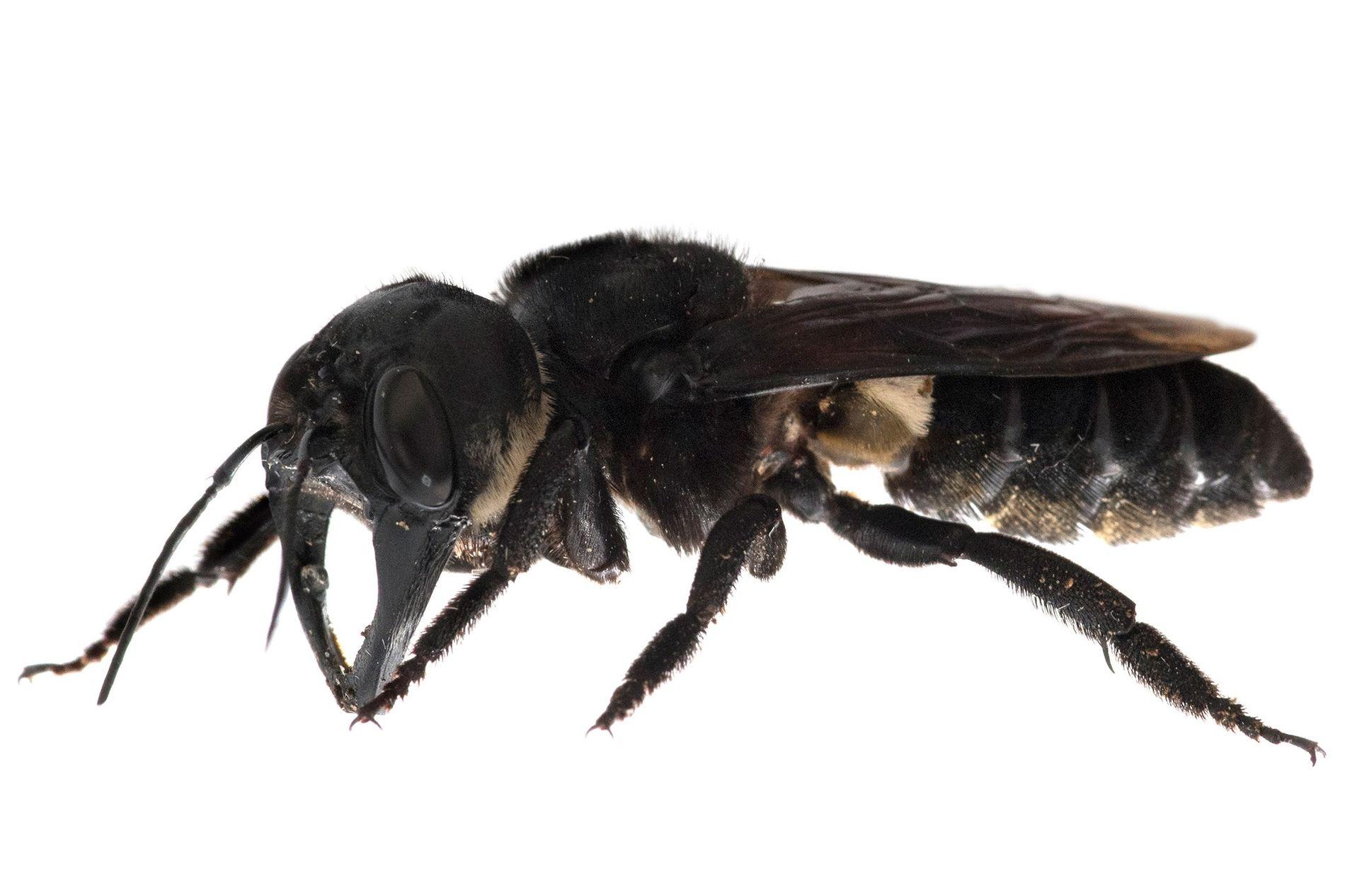 La abeja gigante de Wallace