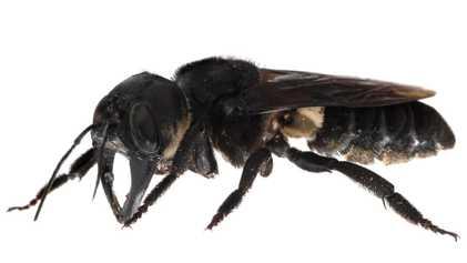 Graban a la abeja más grande del mundo
