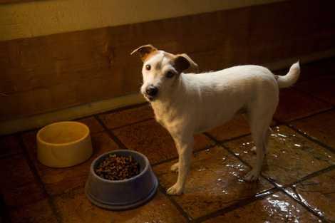Por qué los perros orinan en sus cuencos y otros comportamientos de las mascotas