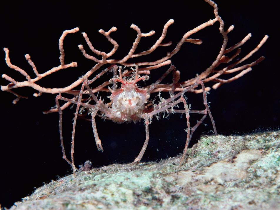 Los curiosos disfraces de los cangrejos