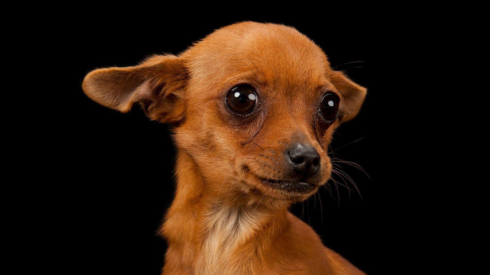 Cinny, un chihuahua de tres meses