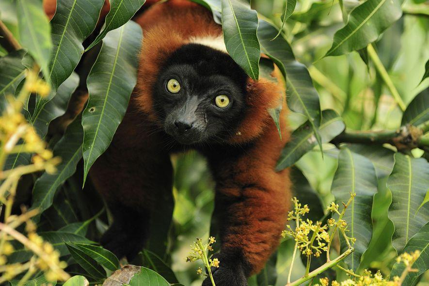 El lémur rufo rojo emite sonidos inquietantes que pueden alcanzar grandes distancias en los bosques de ...