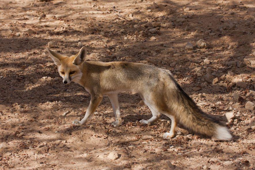 El cuerpo del zorro de Rüppell, también llamado zorro de arena, puede resistir al calor; por ejemplo, su orina concentrada le ayuda a ahorrar agua.