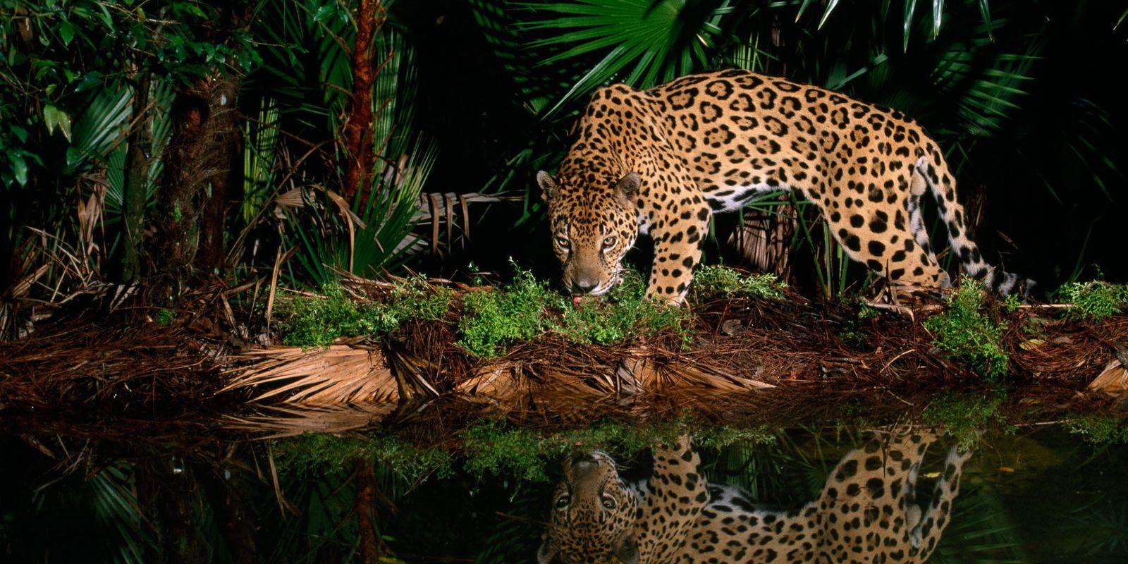 ¿Eres capaz de distinguir a un jaguar de un leopardo?