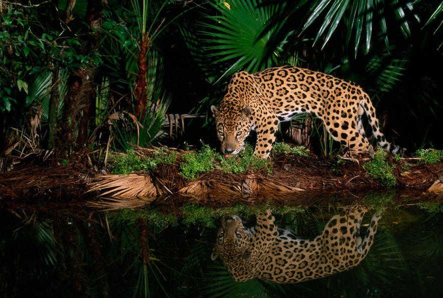 Un jaguar llamado Pepe camina al borde de un abrevadero en el zoo de Belice.