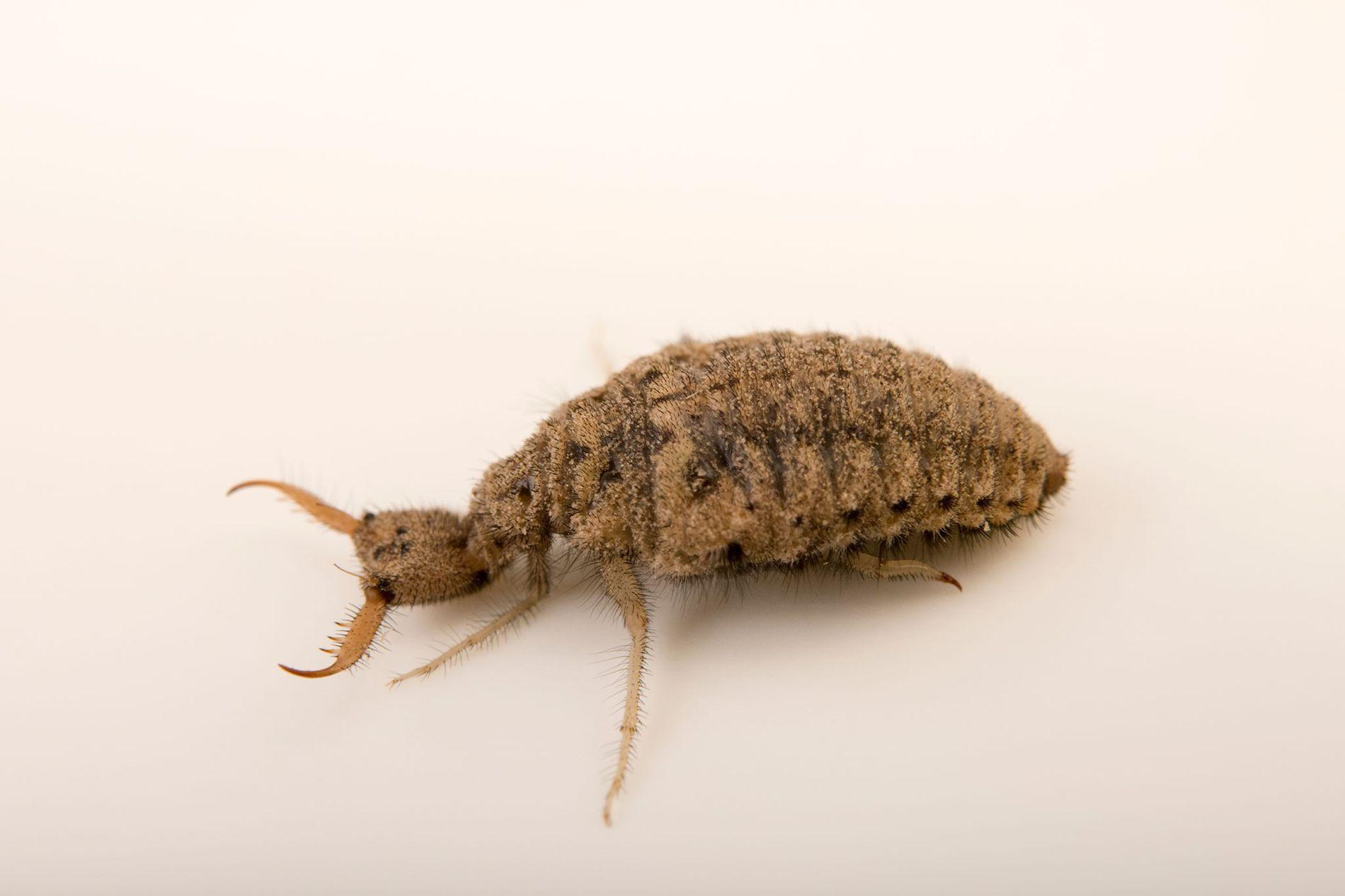 Larva de hormiga león