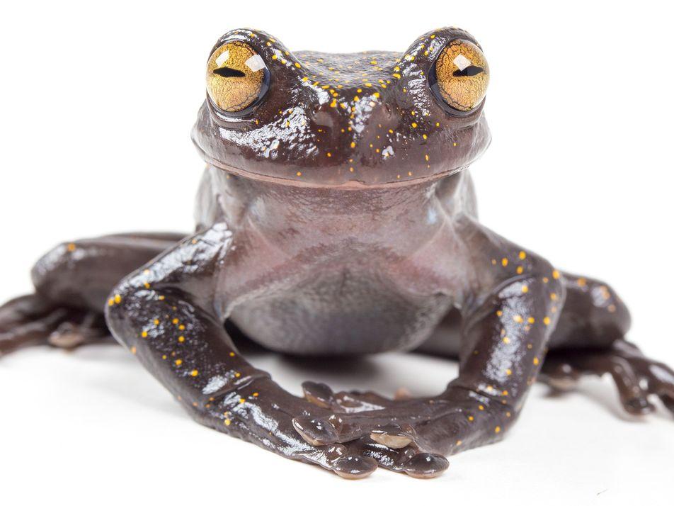 Esta nueva especie de rana ecuatoriana tiene un arma secreta