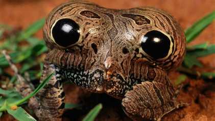 La rana que «te mira» con su trasero venenoso