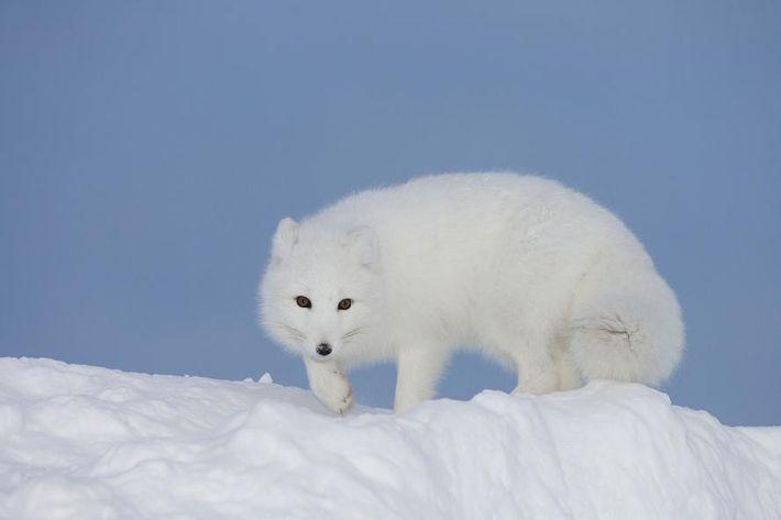 Un zorro polar