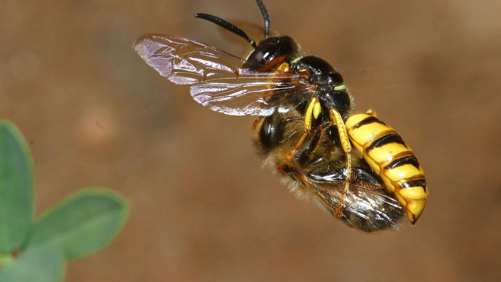 Un lobo de las abejas