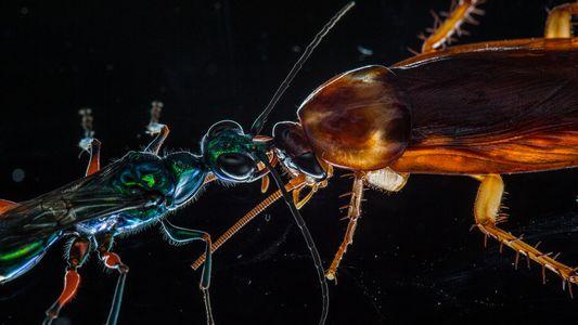 Las moléculas del veneno de las avispas podrían contribuir a la investigación futura del párkinson