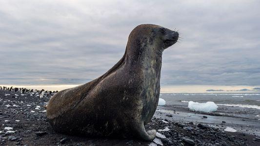 ¿Cómo acabó una foca de la Antártida en una playa brasileña?