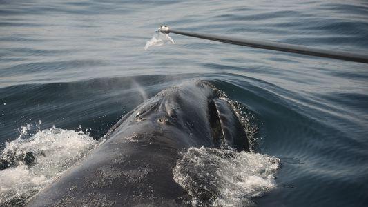 ¿Cómo estudiamos ballenas en peligro de extinción? Mediante sus mocos